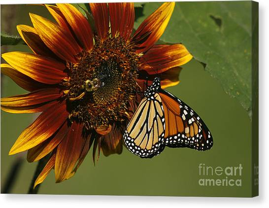 Monarch And The Bee Canvas Print