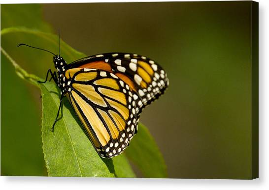 Monarch Beauty Canvas Print by Dean Bennett