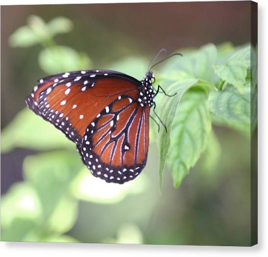 Monarch Butterfly Canvas Print by Andrea  OConnell