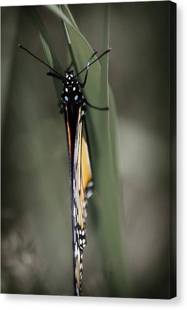 Monarch On A Blade Of Grass Canvas Print