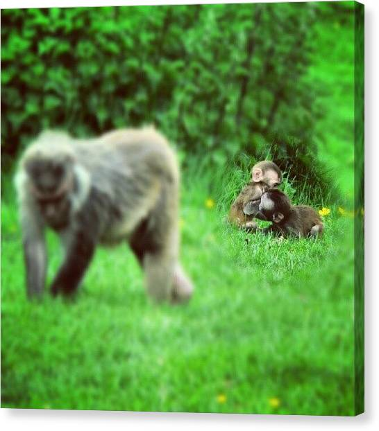 Fighting Canvas Print - Monkey Business by Phil Marshall
