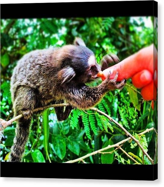 Primates Canvas Print - #monkey #hand #peanut #sagui #sugerloaf by Alon Ben Levy