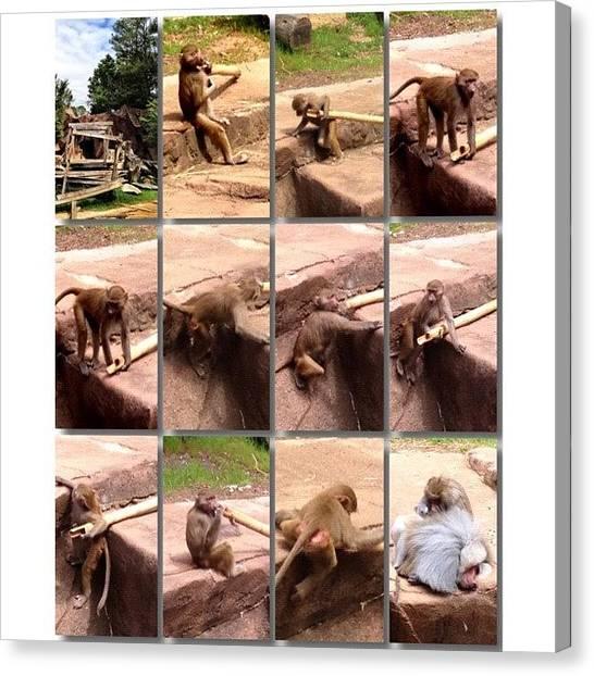 Primates Canvas Print - #monkey See. Monkey Do.  #iphone4s by Elza Hayen