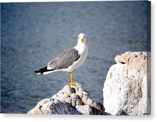 Mono Seagull Canvas Print by Sean McGuire
