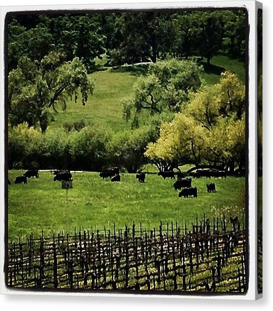 Winery Canvas Print - Moo? #cows #cattle #freerange #beef by Caitlin Schmitt