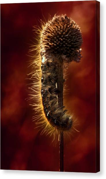 Caterpillers Canvas Print - Moody Red Tent Caterpillar by Bill Tiepelman