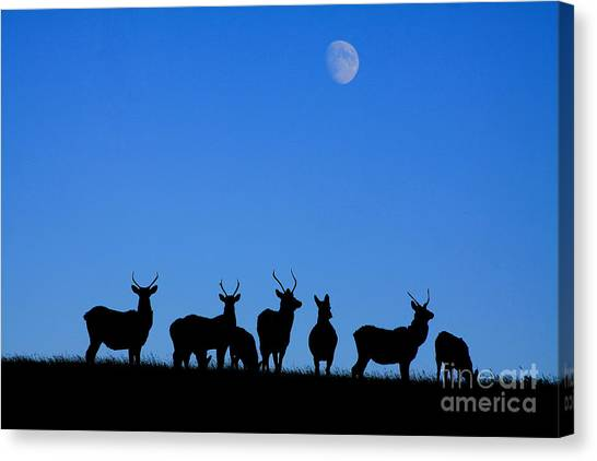 Moonlighting Canvas Print