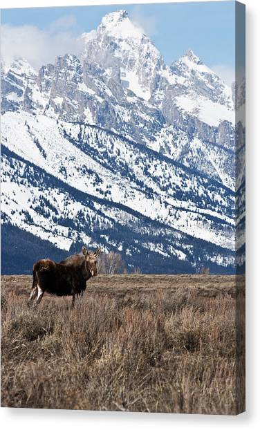Moose And Grand Teton Grand Teton National Park Canvas Print