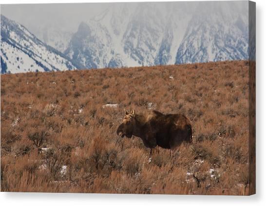 Moose Grand Teton National Park Canvas Print