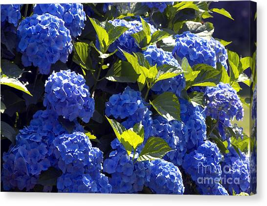 Mophead Hydrangeas Dry Brushed Canvas Print by Sharon Talson