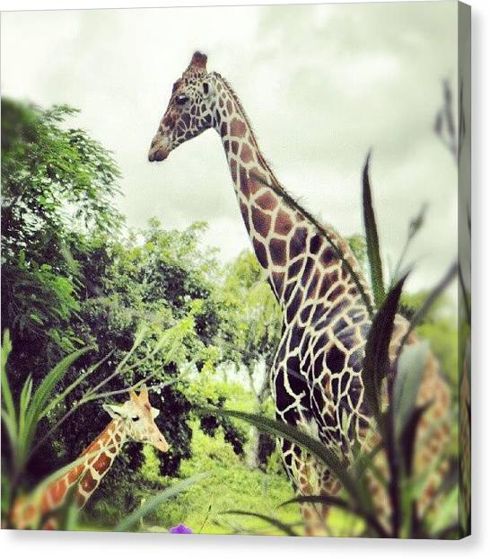 Giraffes Canvas Print - More #giraffes #zoo #animals #nature by Travis Albert