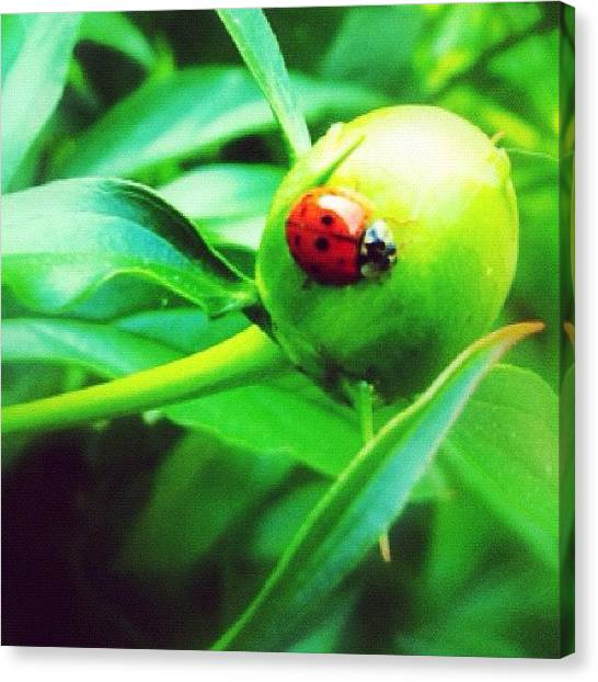 Ladybugs Canvas Print - More Visitors To The Garden #miwgarden by Mommy Inkwell