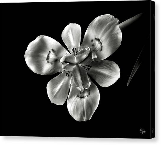 Morea Lily In Black And White Canvas Print