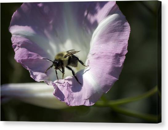 Morning Bumblebee Canvas Print