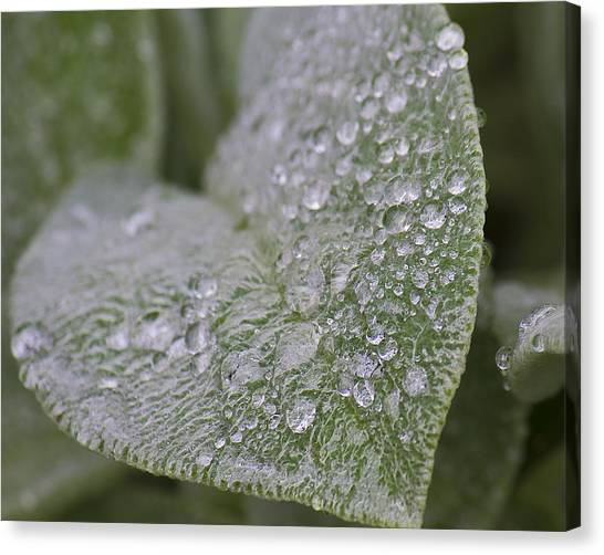 Morning Dew Canvas Print by Tammye Nash