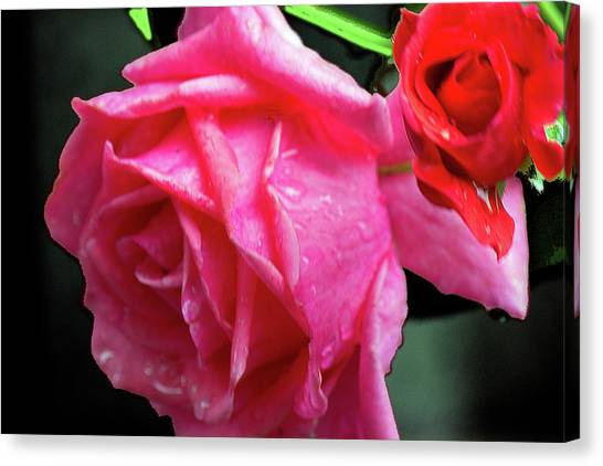 Morning Rose Canvas Print by Barry Jones