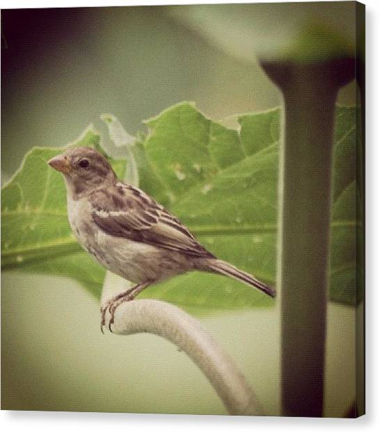 Sparrows Canvas Print - Morning Sparrow #bird #sparrow #wings by Lisa Thomas