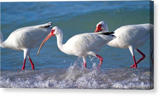 Ibis Canvas Print - Morning Stroll by Betsy Knapp