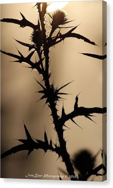 Morning Thorns Canvas Print by Ted Albert