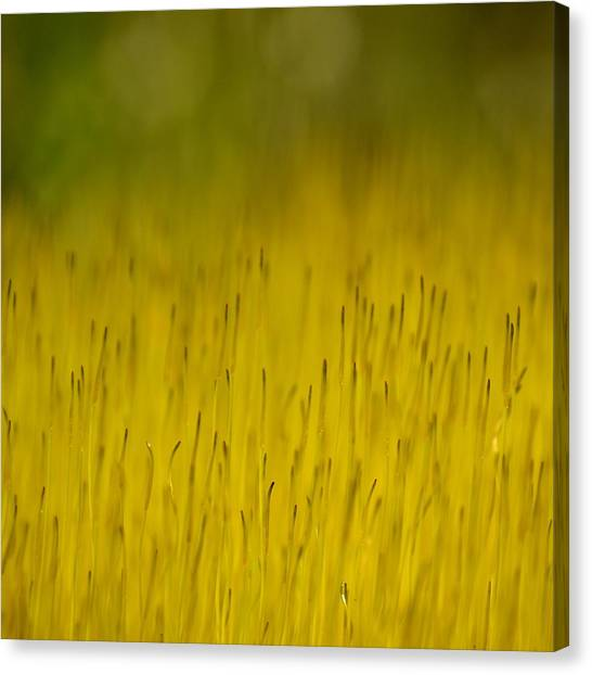Moss In Yellow Canvas Print