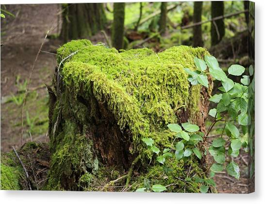 Mossy Forest Canvas Print - Mossy Old Stump by John Greaves