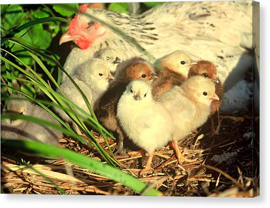 Mother Hen And Young Canvas Print