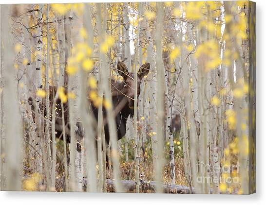 Mother Moose In The Aspens Canvas Print