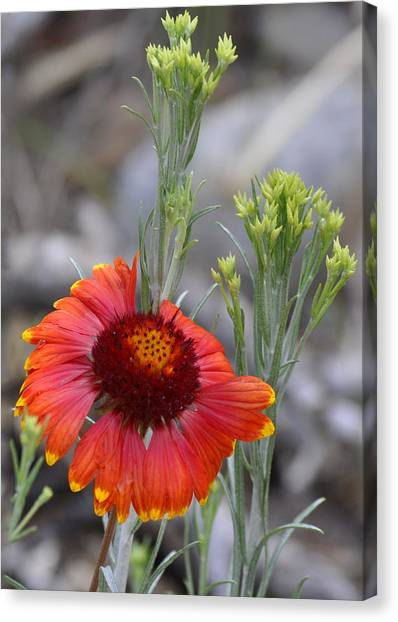 Mount Charleston Wildflowers Canvas Print by Sandra Welpman