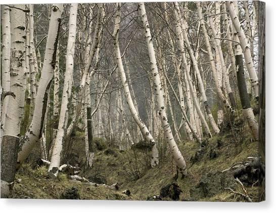 Mount Etna Canvas Print - Mount Etna Birches (betula Aetnensis) by Bob Gibbons