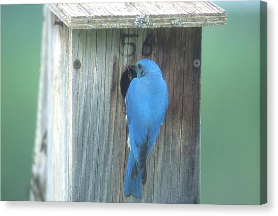 Mountain Bluebird Feeding Young Canvas Print