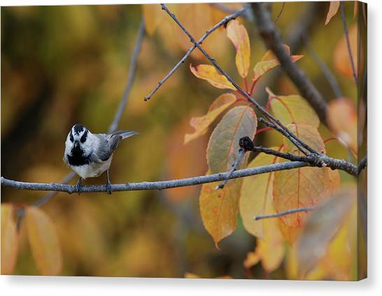 Mountain Chickadee 1 Canvas Print