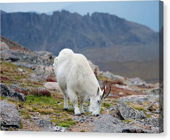 Mountain Goat Grazing Canvas Print by Stephen  Johnson