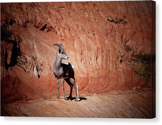 Mountain Goat Zion National Park Canvas Print