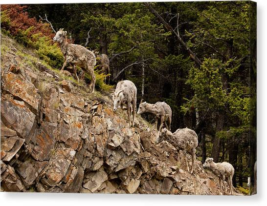 Mountain Sheep 1668 Canvas Print by Larry Roberson