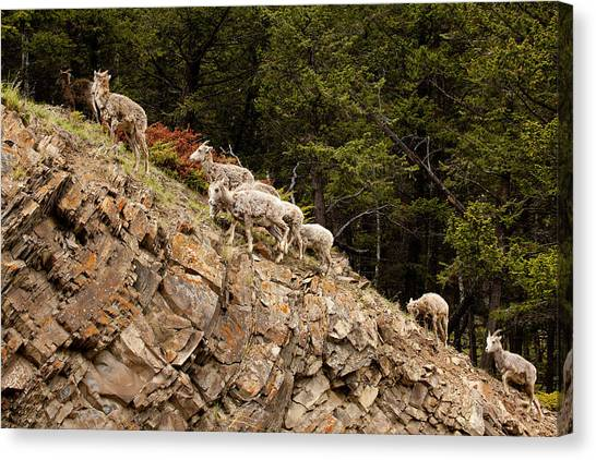 Mountain Sheep 1670 Canvas Print by Larry Roberson