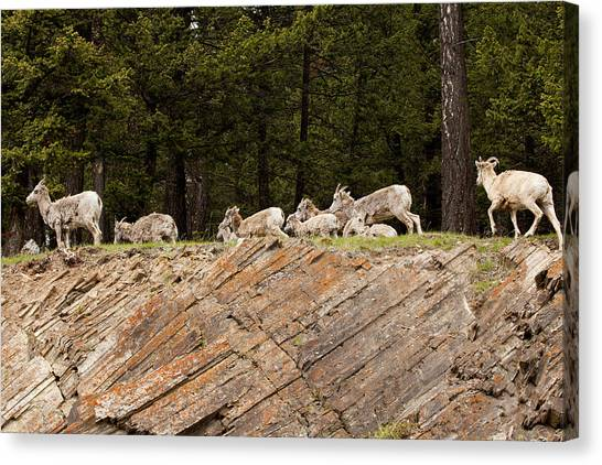 Mountain Sheep 1673 Canvas Print by Larry Roberson
