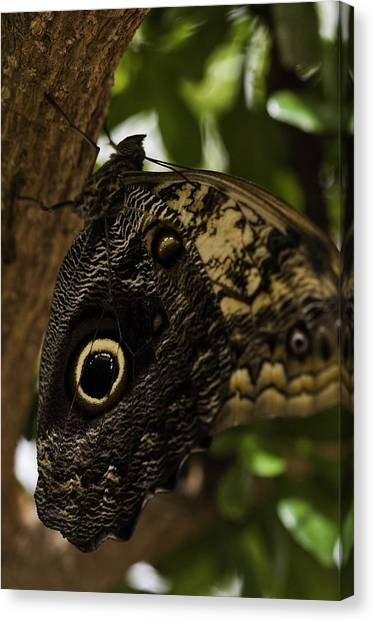 Mournful Owl Butterfly Canvas Print