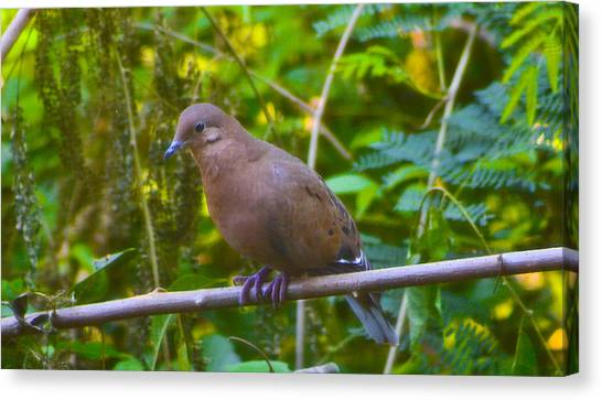 Mourning Dove Cooling Out Canvas Print by David Alexander