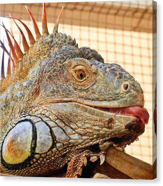 Iguanas Canvas Print - Mr Iguana #webstagram #bestoftheday by Tanya Sperling