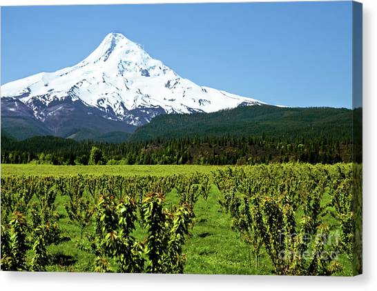 Portland Timbers Canvas Print - Mt. Hood Oregon With Fruit Orchard In Foreground by Sherry  Curry