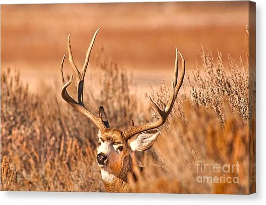 Mule Deer Buck Closeup Canvas Print by Earl Nelson