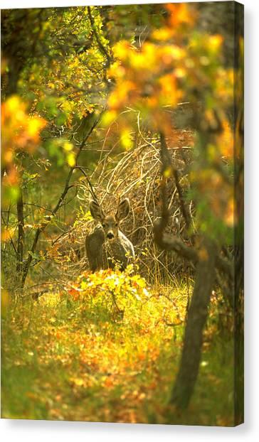 Mule Deer  Canvas Print by Tony Marinella