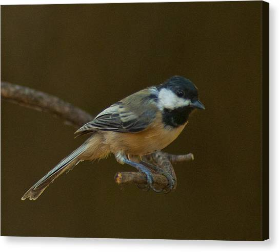 Multicolored Chickadee Canvas Print by Don Wolf