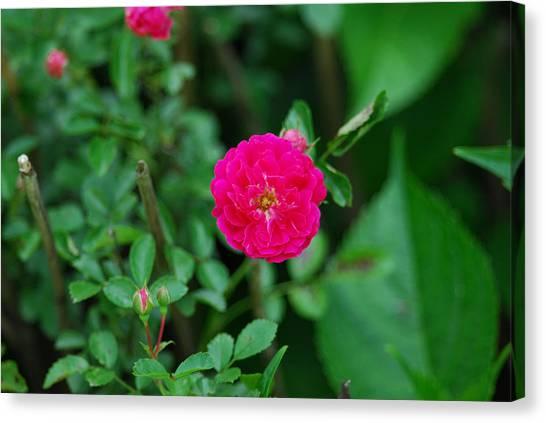 Multifloral Rose Canvas Print