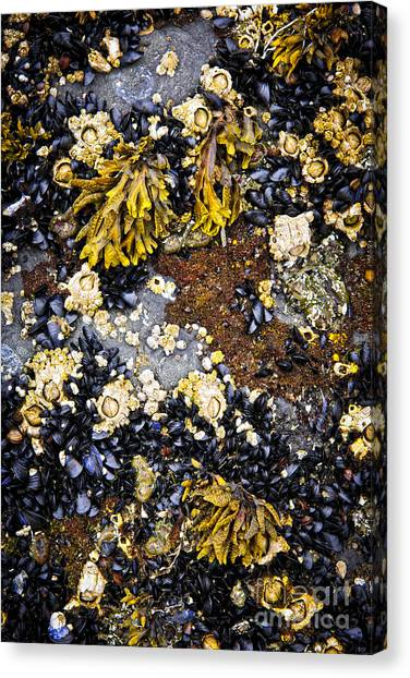 Saltwater Life Canvas Print - Mussels And Barnacles At Low Tide by Elena Elisseeva