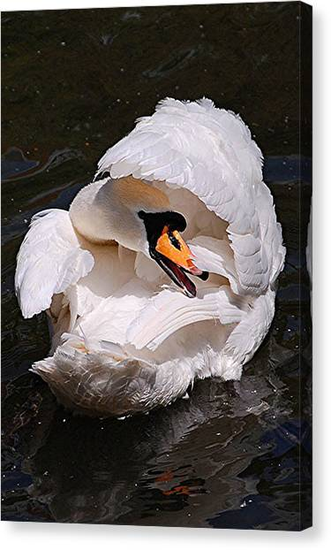 Mute Swan Canvas Print by Patricia Tapping