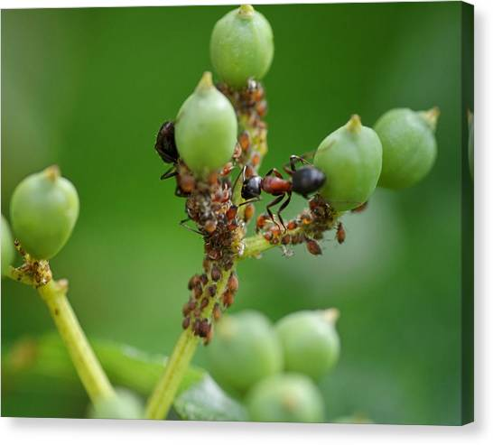 Honeydews Canvas Print - Mutualistic by Susan Capuano