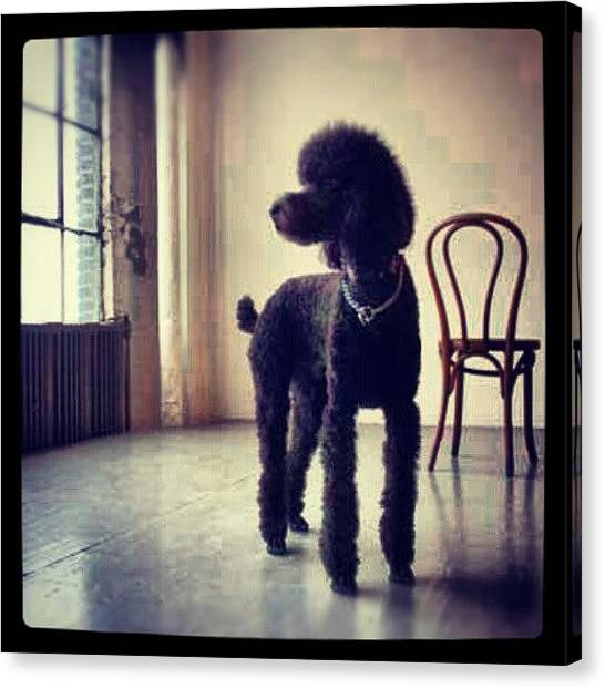 Poodles Canvas Print - My Babe! #dog #photography #black by Natalia D
