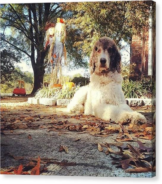 Poodles Canvas Print - My #bigboy #kona , #standardpoodle by Lori Lynn Gager
