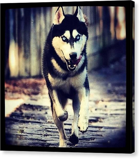 Huskies Canvas Print - My Dog Koda. #dog #husky #animal #eyes by Brett Pugsley